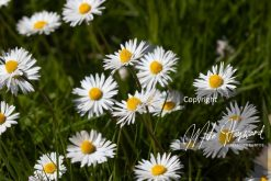 Daises in the grass