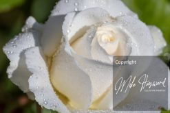 a white rose in the morning sun
