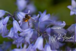 Bee in a bluebell